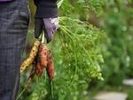 Protection des récoltes du potager