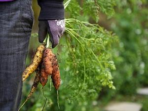 Récolte des dernières carottes