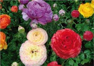 Renoncules des fleuristes