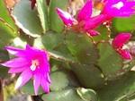 Rhipsalidopsis (cactus de Pâques)