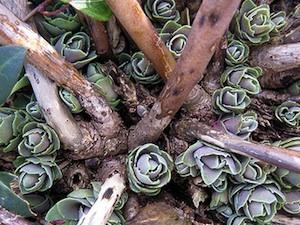 Sedum spectabile - nouvelles pousses, février