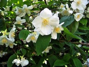 Achat et plantation d\'un arbuste à fleurs