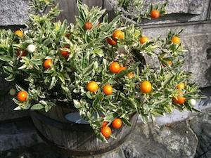 Solanum pseudocapsicum - Cultivar au feuillage panaché