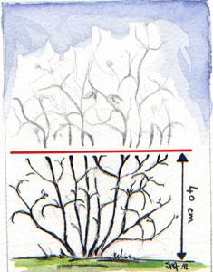Taille sévère pour les clématites à floraison estivale