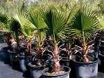 Des palmiers très résistants!