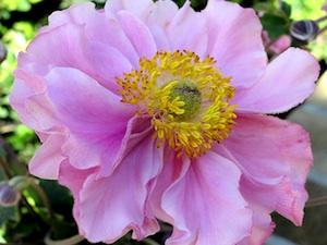 Anémone du Japon - fleur double