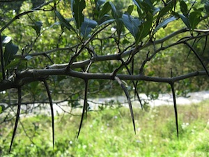 Crataegus crus-galli var. pyracanthifolia