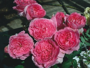 roses guillot les plus belles obtentions. Black Bedroom Furniture Sets. Home Design Ideas