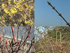 Février - début du débourrement chez plusieurs espèces