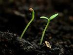 La fonte des semis