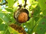 Dans les vergers français, la noix se porte bien