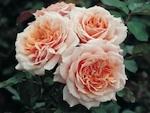 Guillot : les plus belles roses