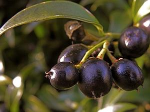 Sarcococca hookeriana - Baies