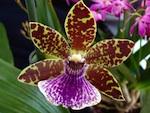 Orchidée : Zygopetalum