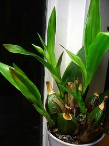 Zygopetalum : développement de la hampe florale
