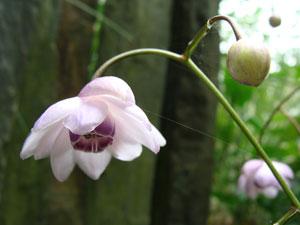 Raretés et collections au jardin : pélargoniums, figuiers et plantes asiatiques