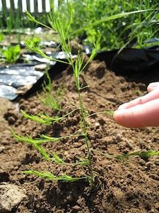 Jeune plant d'asperge