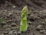 L'asperge cultivée : semis, culture et récolte