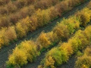 Champ d'asperges en automne