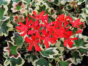 Pelargonium Bob Newing
