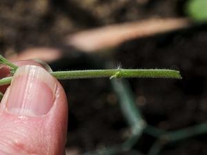 Bouture herbacée