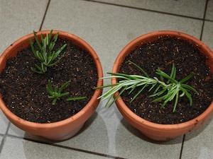 Réaliser une bouture herbacée