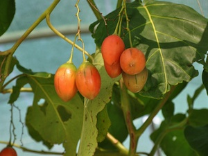 Cyphomandra betacea - Fruits