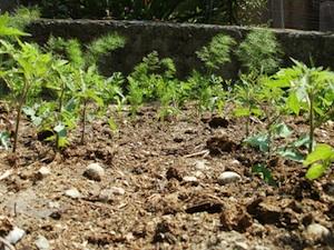 Fenouil et tomate, cohabitation difficile ?