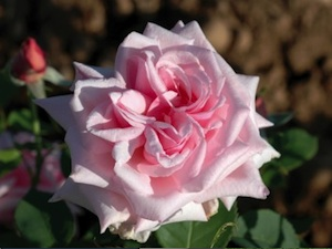 Rose 'La France' (Guillot)
