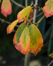 Hamamelis : feuillage d'automne