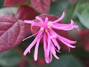Loropetalum - Fleur