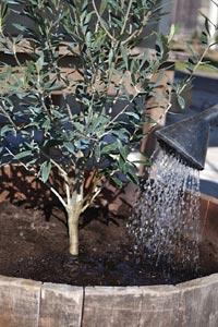 plantation d un olivier en pleine terre interesting tout savoir sur luolivier un arbre immortel. Black Bedroom Furniture Sets. Home Design Ideas