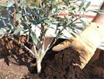 Soins de printemps pour l'olivier