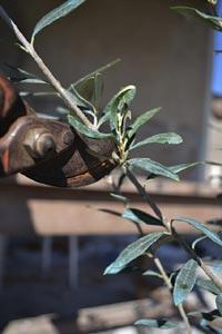Raccourcissement des rameaux les plus longs du jeune olivier