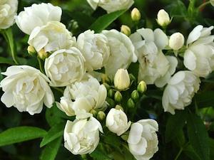 Rosa banksiae - Blanc