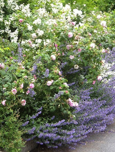 Que planter au pied des rosiers for Jardin que planter en novembre