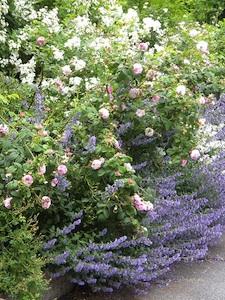 Roses et népéta