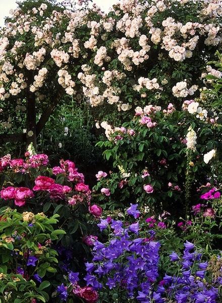 que planter au pied des rosiers collection design inspiration pour le jardin et. Black Bedroom Furniture Sets. Home Design Ideas