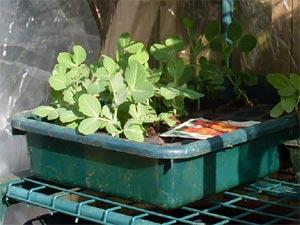 Semis en caissettes dans la mini-serre extérieure