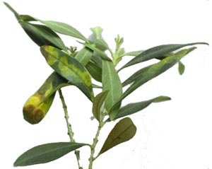 Tavelure de l'olivier (spilocaea oleagina)