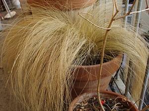 Stipa tenuifolia - Pot, hiver