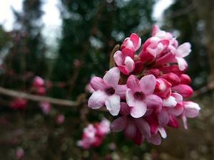 Viorne bodnantense : un parfum subtil au coeur de l'hiver
