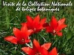Visitez la Collection Nationale de Tulipes Botaniques