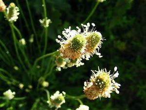 Plantain en fleur