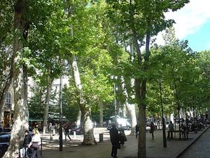 Alignements de platanes en ville