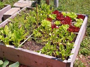 Potager en carrés : verdure (salade, betterave, bette...)