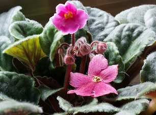 Saintpaulia : une petite plante d'intérieur pleine de charme