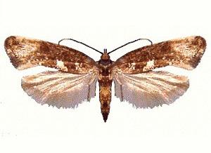 Acrolepiopsis assectella - Adulte, ailes déployées