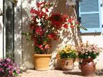 Bougainvillier, de la haute couture pour tous les jardins