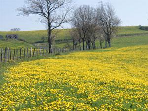 Les pissenlits en fleurs qui recouvrent ce pré sont un bel hommage au printemps qui arrive.